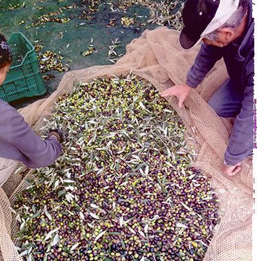 Pulizia delle olive